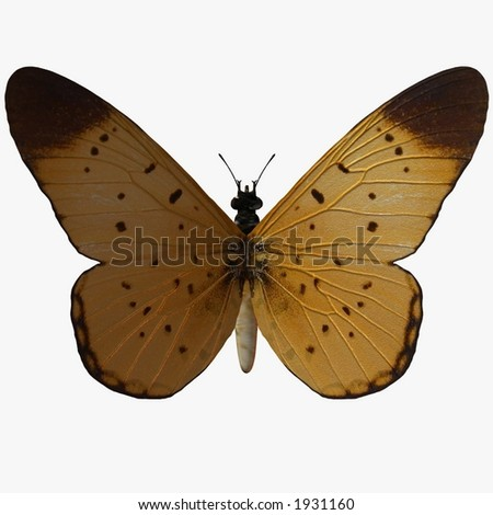 Butterfly-Yellow Coster - stock photo