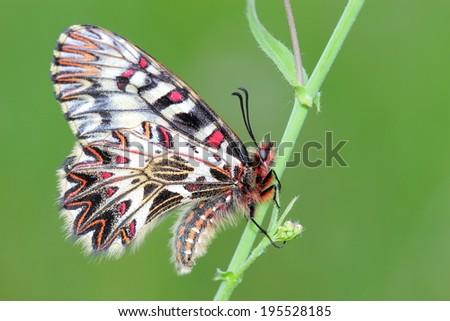Butterfly (Zerynthia polyxena) on spring meadow. Macro  - stock photo