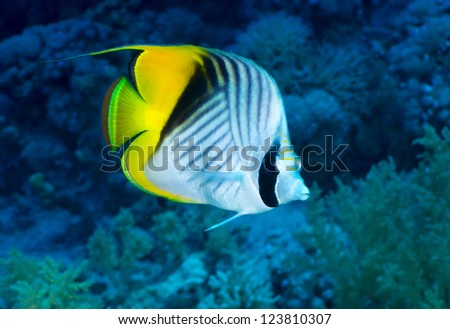 Butterflyfish (Chaetodon auriga Forsskal) in the Red Sea, Egypt.