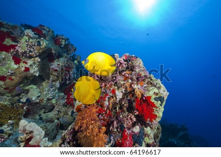 Butterflyfish in the Red Sea. - stock photo