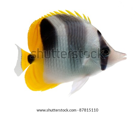 butterflyfish reef fish on white background - stock photo
