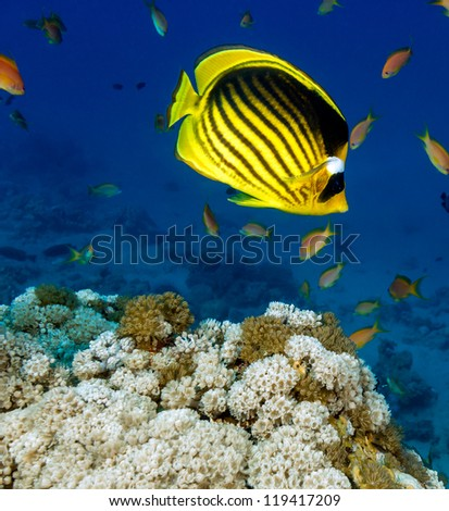 Butterflyfish swimming over a Red Sea Coral Reef - stock photo