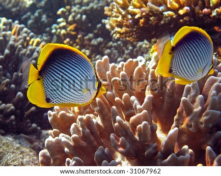 Butterflyfishes - stock photo