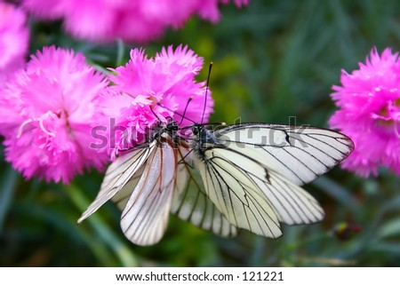 Butterflys on a flower. - stock photo
