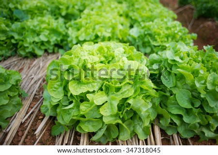 butterhead in organic farm - stock photo