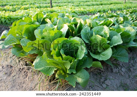 Butterhead Lettuce growed organic vegetables for health and the environment.  - stock photo