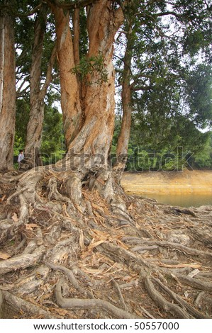 Buttress root - stock photo