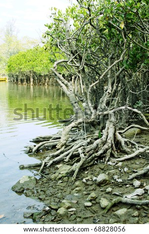 Buttress roots for survival of the mangroves in Hong Kong - stock photo