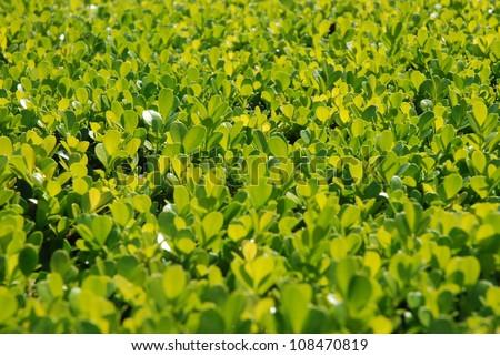 Buxus sempervirens - stock photo