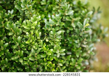 Buxus sempervirens bush - details and texture on the leaves - stock photo