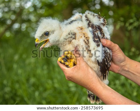 Buzzard chick (Buteo buteo) taken out of the nest by a researcher for examination and measurements - stock photo