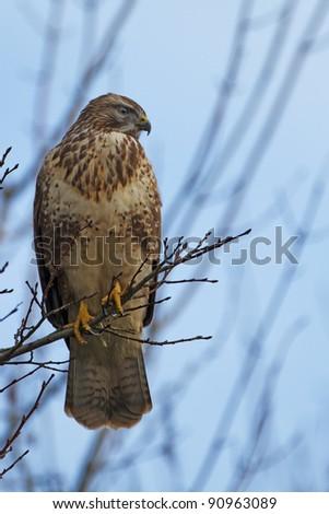 Buzzard in a tree - stock photo