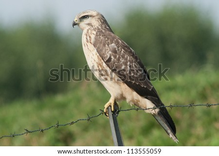 Buzzard looking for a prey