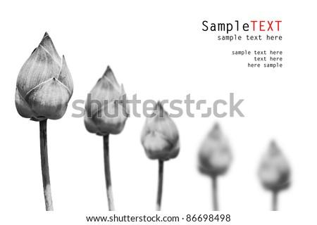 BW Lotus flower, isolate on white background - stock photo