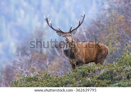 by a forest appears a male deer looking at me before running off - stock photo
