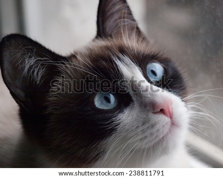 ca breed snoshoe looking at right upper corner of snapsot - stock photo