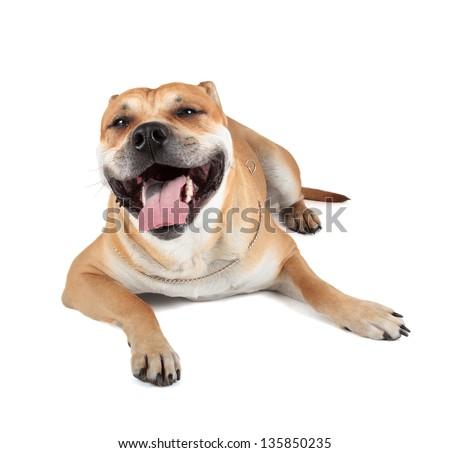 Ca de Bou (Mallorquin Mastiff, Mallorquin Bulldog, Perro Dogo Mallorquin, Majorca Mastiff, Majorcan Bulldog, Perro de presa Mallorquin) isolated on white - stock photo