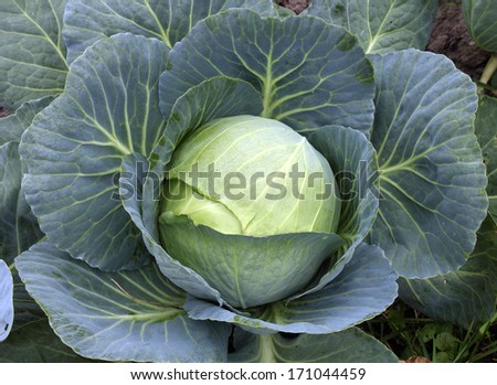 Cabbage - stock photo
