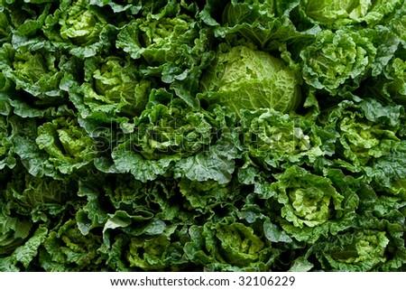 Cabbage background - stock photo