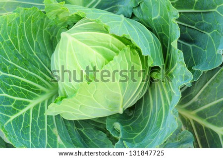 cabbage blooming.