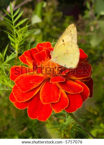 cabbage butterfly on marigold flower - stock photo
