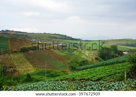 Cabbage farm during harvesting season with dramatic sky. - stock photo