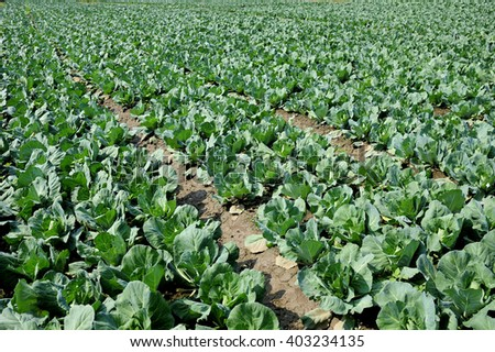 Cabbage field.