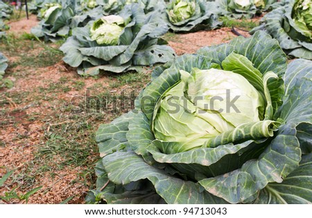 Cabbage fields in Thailand, rows of vegetable food