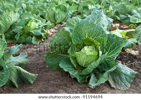 cabbage garden - stock photo