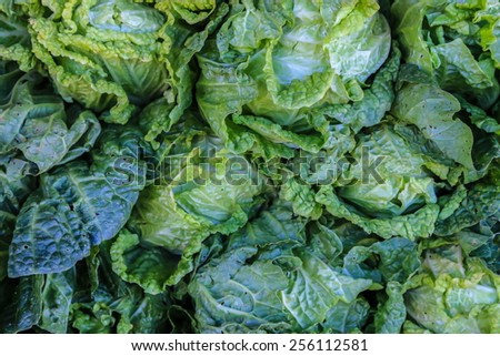 Cabbage grow in home vegetable garden. - stock photo