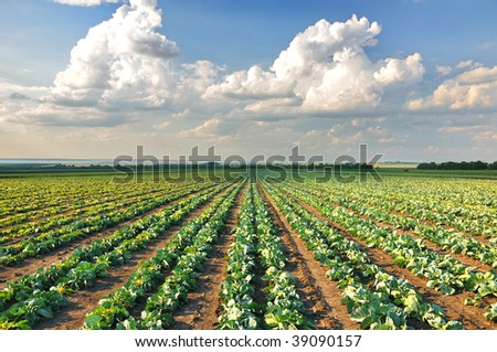 Cabbage growing in a row on the field - stock photo