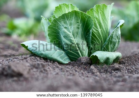 cabbage growing in the garden - stock photo