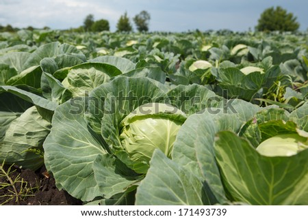 cabbage harvest on the field - stock photo