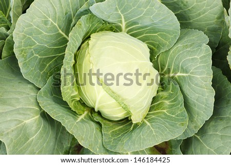 Cabbage head.  - stock photo