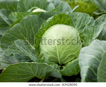 Cabbage head - stock photo
