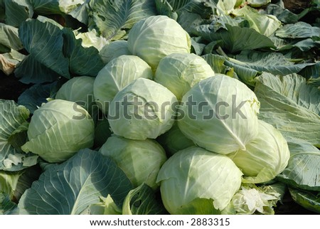 Cabbage in a field - stock photo