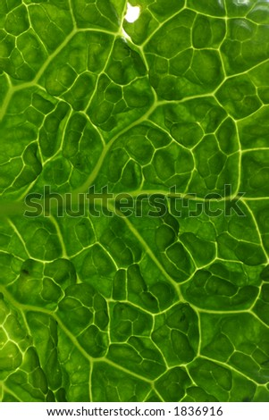 Cabbage leaf close up
