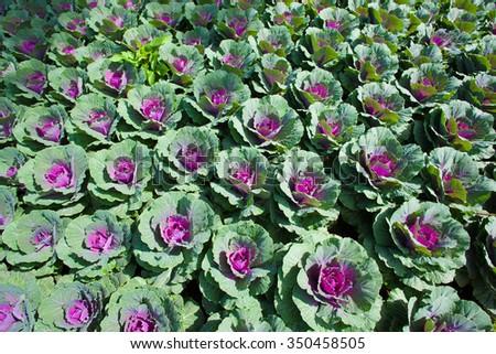 Cabbage plant - stock photo