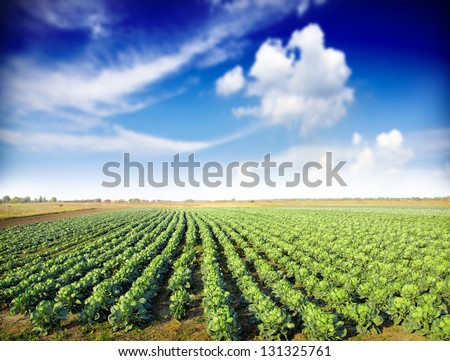 Cabbage plantation - stock photo