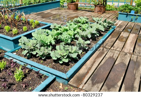 Cabbage plants in raised bed - stock photo
