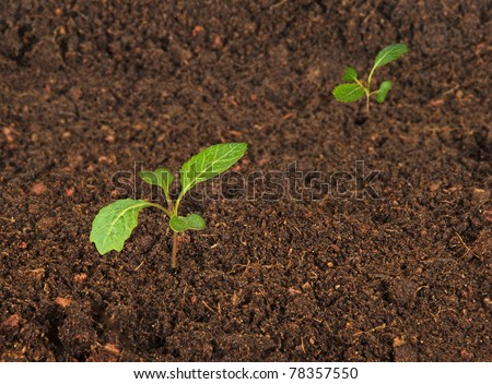 Cabbage seedlings - stock photo