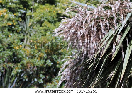 Cabbage Tree in Flower - stock photo