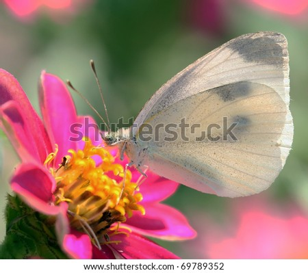 Cabbage White Butterfly feeding on a Pink Flower - stock photo