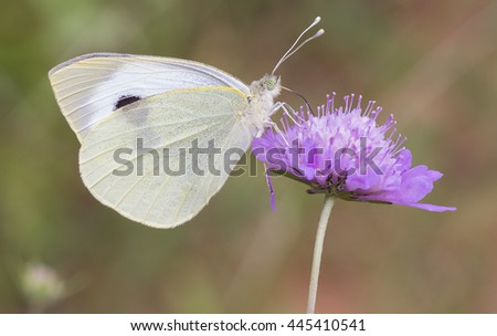 Cabbage white butterfly,Pieris brassicae - stock photo