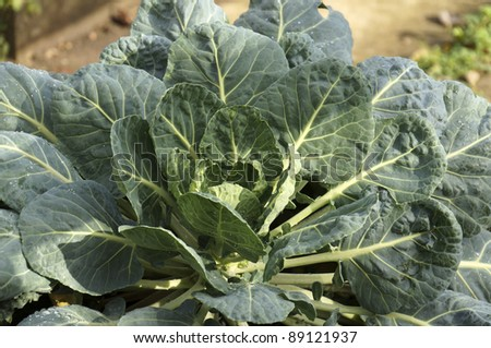 cabbages in a garden - stock photo