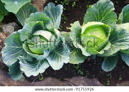 Cabbages in the garden - stock photo