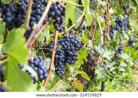 Cabernet Grapes Hanging on the Vine - stock photo