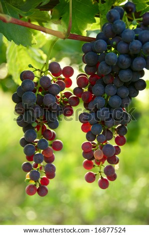 Cabernet Grapes on the vine in a vineyard - stock photo
