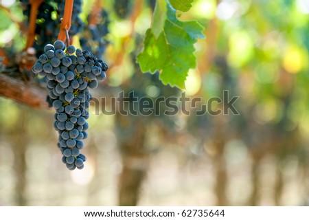 cabernet sauvignon grape bunch ready for harvest in california vineyard - stock photo