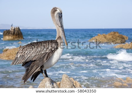 Cabo San Lucas Mexico Pelican - stock photo
